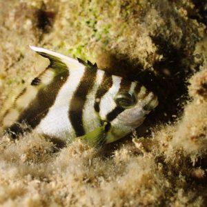 Goniistius vestitus - Nouvelle-Calédonie, Nouméa, Rocher à la voile