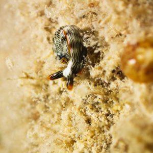 Mollusques » Gastéropode » Limaces de mer (opisthobranche) » Sacoglosse » Thuridilla bayeri