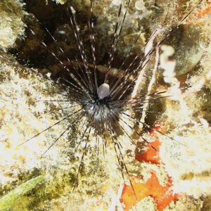 Échinodermes » Oursin » Echinothrix calamaris
