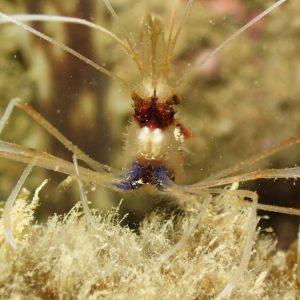 Crustacés » Crevette » Stenopus hispidus