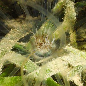 Anémones de mer - Nouvelle-Calédonie, Nouméa, Rocher à la voile