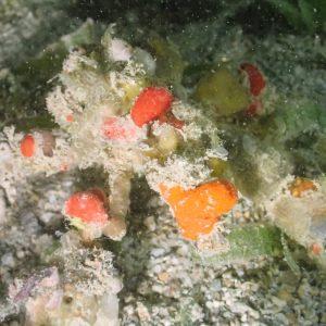 Crustacés » Crabe » Camposcia retusa