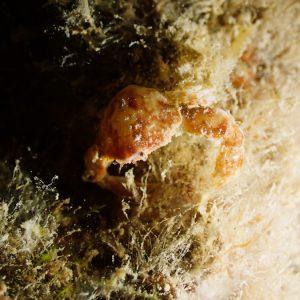 Crustacés » Crabe » Leucosia neocaledonica