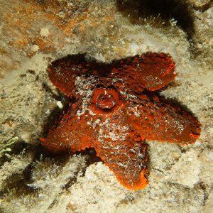 Euretaster cribrosus - Nouvelle-Calédonie, Nouméa, Rocher à la voile