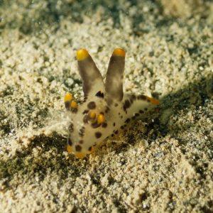 Mollusques » Gastéropode » Limaces de mer (opisthobranche) » Nudibranche » Doridien » Thecacera picta