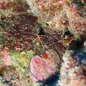 Crustacés » Crevette » Lysmata amboinensis