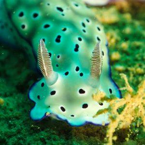 Mollusques » Gastéropode » Limaces de mer (opisthobranche) » Nudibranche » Doridien » Hypselodoris tryoni