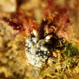 Mollusques » Gastéropode » Limaces de mer (opisthobranche) » Sacoglosse » Thuridilla vataae