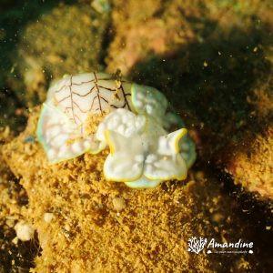 Mollusques » Gastéropode » Limaces de mer (opisthobranche) » Céphalaspide » Micromelo undatus