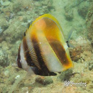 Poissons osseux » Poisson-papillon » Coradion altivelis