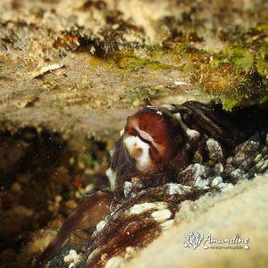 Mollusques » Céphalopode » Poulpe