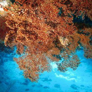 Cnidaires - Nouvelle-Calédonie, Île des Pins, Jardin d'Eden