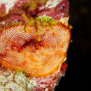 Ectoprocte (bryozoaire) » Alcyionidium sp.