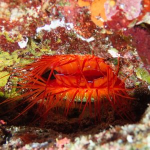 Mollusques » Bivalve » Limidae