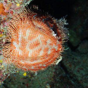 Échinodermes » Oursin » Salmacis belli