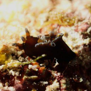 Mollusques » Gastéropode » Limaces de mer (opisthobranche) » Nudibranche