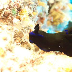 Mollusques » Gastéropode » Limaces de mer (opisthobranche) » Nudibranche » Doridien » Tambja morosa