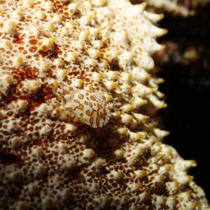 Crustacés » Crabe » Lissocarcinus orbicularis