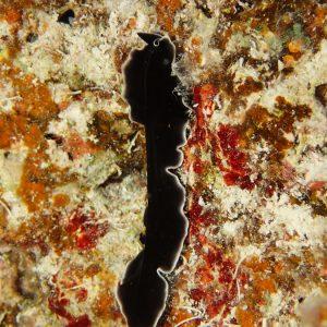 Ver plat (plathelminthe) - Nouvelle-Calédonie, Île des Pins, Ilot Ngié