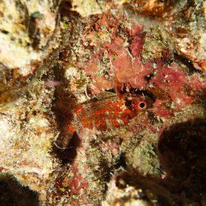 Poissons osseux - Nouvelle-Calédonie, Île des Pins, Ilot Ngié