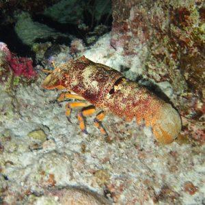 Crustacés » Cigale de mer » Scyllarides squammosus