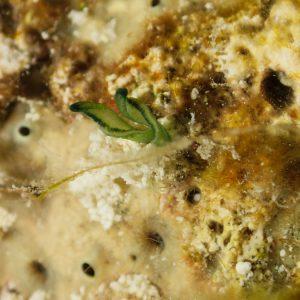 Organismes vermiformes » Échiurien » Bonellia sp.
