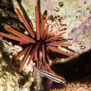 Échinodermes » Oursin » Heterocentrotus mammillatus