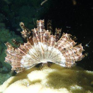Crinoïde - Nouvelle-Calédonie, Île des Pins, Ilot Ngié