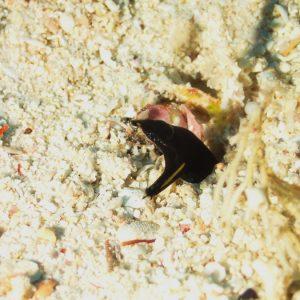 Poissons osseux » Murène » Rhinomuraena quaesita