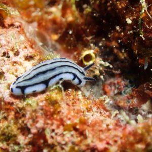Mollusques » Gastéropode » Limaces de mer (opisthobranche) » Nudibranche » Doridien » Phyllidiopsis annae