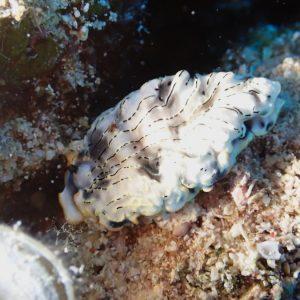 Mollusques » Gastéropode » Limaces de mer (opisthobranche) » Nudibranche » Arminidae