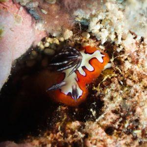 Mollusques » Gastéropode » Limaces de mer (opisthobranche) » Nudibranche » Doridien » Goniobranchus fidelis