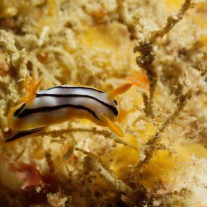 Mollusques » Gastéropode » Limaces de mer (opisthobranche) » Nudibranche » Doridien » Chromodoris lochi