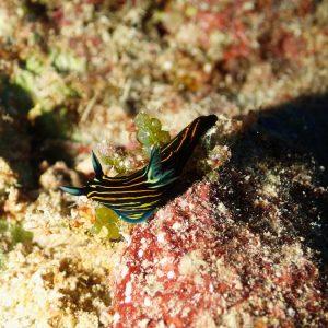 Mollusques » Gastéropode » Limaces de mer (opisthobranche) » Nudibranche » Doridien » Roboastra luteolineata