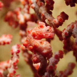 Poissons osseux » Hippocampe » Hippocampus bargibanti