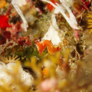 Poissons osseux » Hippocampe » Hippocampus pontohi