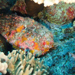 Poissons osseux » Poisson-pierre » Synanceia verrucosa