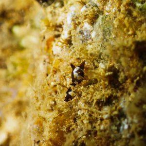 Mollusques » Gastéropode » Limaces de mer (opisthobranche) » Céphalaspide » Colpodaspis thompsoni