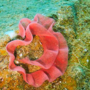Mollusques » Gastéropode » Limaces de mer (opisthobranche) » Nudibranche » Doridien » Hexabranchus sanguineus