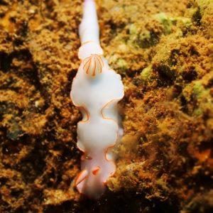 Mollusques » Gastéropode » Limaces de mer (opisthobranche) » Nudibranche » Doridien » Thorunna furtiva