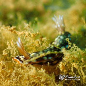Mollusques » Gastéropode » Limaces de mer (opisthobranche) » Nudibranche » Doridien