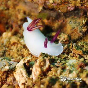 Mollusques » Gastéropode » Limaces de mer (opisthobranche) » Nudibranche » Doridien » Hypselodoris lacteola
