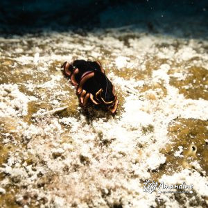 Organismes vermiformes » Ver plat (plathelminthe) » Pseudobiceros gloriosus
