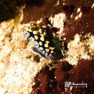 Mollusques » Gastéropode » Limaces de mer (opisthobranche) » Nudibranche » Doridien » Phyllidia carlsonhoffi