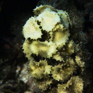 Végétaux » Algue brune » Turbinaria ornata