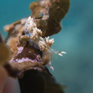 Mollusques » Gastéropode » Limaces de mer (opisthobranche) » Nudibranche » Éolidien