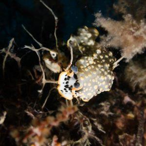 Mollusques » Gastéropode » Limaces de mer (opisthobranche) » Nudibranche » Arminidae » Dermatobranchus ornatus