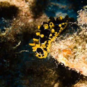 Mollusques » Gastéropode » Limaces de mer (opisthobranche) » Nudibranche » Doridien » Phyllidia ocellata
