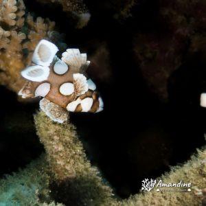 Poissons osseux » Castex et grosses lèvres » Plectorhinchus chaetodonides
