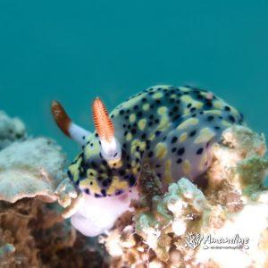 Mollusques » Gastéropode » Limaces de mer (opisthobranche) » Nudibranche » Doridien » Hypselodoris infucata